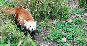Rood Panda Eating Grass stock video