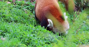 Rood Panda Eating Grass stock footage
