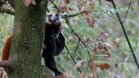 Rood Panda Eating Leaves - een Deel 5 van 5 royalty-vrije stock foto