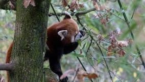 Rood Panda Eating Leaves - een Deel 1 van 5 royalty-vrije stock fotografie
