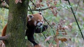 Rood Panda Eating Leaves - een Deel 2 van 4 royalty-vrije stock fotografie