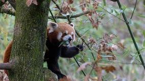 Rood Panda Eating Leaves - een Deel 3 van 4 stock foto's