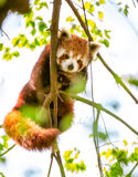 Rood Panda of Lesser Panda Stock Foto's