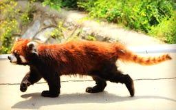 Rood Panda of Lesser Panda Royalty-vrije Stock Afbeeldingen