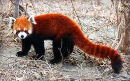 Rood Panda of Lesser Panda Stock Foto