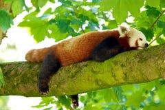 Rood Panda Sleeping Royalty-vrije Stock Foto's