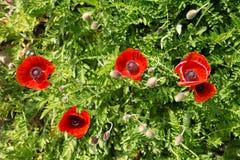 Rood papavers groen gras stock foto