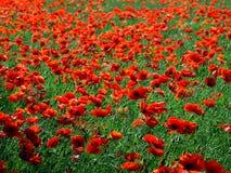 Rood papaversgebied Stock Foto