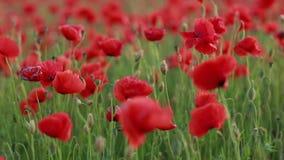 Rood papaversgebied De papaver bloeit gebied Papaverbloemen slingeren, die in de wind fladderen stock footage