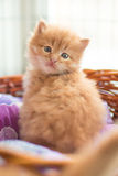 Rood pasgeboren katje stock foto