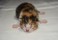 Rood pasgeboren Katje Stock Foto's