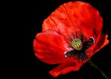 Rood Poppy Papaver-rhoeasclose-up tegen een zwarte achtergrond Royalty-vrije Stock Afbeelding