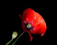 Rood Poppy Papaver-rhoeasclose-up tegen een zwarte achtergrond Stock Foto