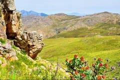 Rood proteabloemen en berglandschap Stock Afbeelding
