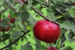 Rood Rijp Apple in Boom tijdens de Zomer Royalty-vrije Stock Foto's