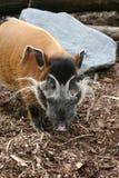 Rood riviervarken stock fotografie