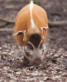 Rood riviervarken Royalty-vrije Stock Foto's