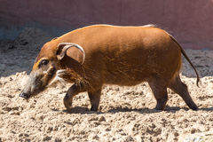 Rood riviervarken - schaduwen Stock Afbeelding