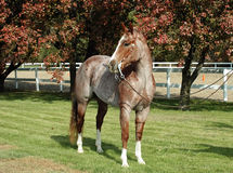 Rood roan paard Royalty-vrije Stock Foto's