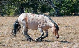 Rood Roan Wild Stallion ongeveer om in het vuil in de Pryor-Waaier van het Bergwild paard in Montana te rollen royalty-vrije stock afbeelding