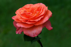 Rood roos-2 Royalty-vrije Stock Fotografie