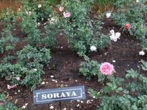 Rood & roze Soraya nam bij Indische roze ooty tuin toe, India Stock Foto