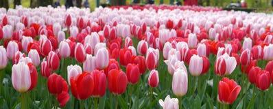 Rood & roze tulpengebied Stock Foto's