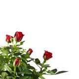 Rood rozenboeket dat op wit wordt geïsoleerde Stock Fotografie