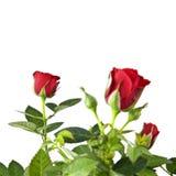 Rood rozenboeket dat op wit wordt geïsoleerde Stock Foto