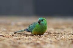 Rood-Rumped papegaai Stock Afbeeldingen