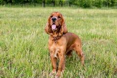 Rood spaniel op het groene gras Royalty-vrije Stock Afbeelding