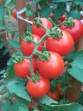 Rood tomatenfruit Royalty-vrije Stock Afbeelding