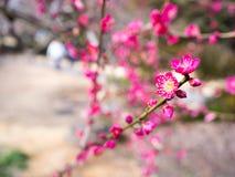 Rood-tot bloei gekomen pruimboom Stock Foto's