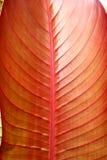 Rood tropisch blad - detail Stock Foto's