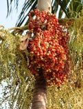 Rood tropisch palmfruit Royalty-vrije Stock Foto's