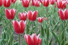 Rood Tulp het bloeien close-up Stock Afbeeldingen