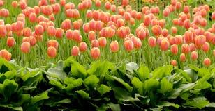 Rood tulpenbloembed royalty-vrije stock fotografie