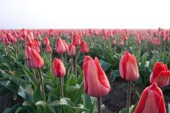 Rood tulpengebied stock foto