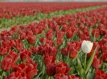 Rood tulpengebied Stock Afbeeldingen