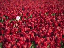Rood tulpengebied Royalty-vrije Stock Afbeelding