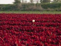 Rood tulpengebied Royalty-vrije Stock Foto's