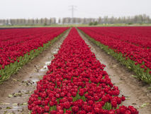 Rood tulpengebied Stock Fotografie