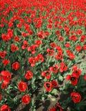 Rood tulpengebied royalty-vrije stock foto