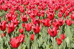 Rood tulpengebied Royalty-vrije Stock Afbeeldingen