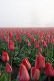 Rood tulpengebied en bomen verticaal schot royalty-vrije stock afbeelding