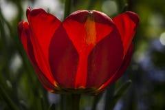 Rood tulpenlicht in groene tuin Stock Afbeeldingen