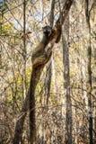 Rood-uitgezien op Bruine Maki die zich aan een boom, Kirindy-Bos, Menabe, Madagascar vastklampen Stock Afbeeldingen