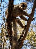 Rood-uitgezien op Bruine Maki in een boom, Kirindy-Bos, Menabe, Madagascar Stock Foto's
