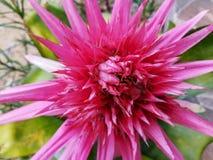 Rood van de bloem van Bromeliavriesea met bladeren stock afbeelding