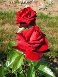 Rood van de bloem nam toe Stock Foto's